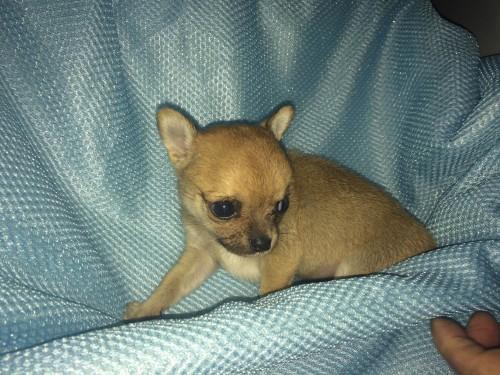 チワワ(スムース)の子犬(ID:1262611001)の3枚目の写真/更新日:2016-05-18