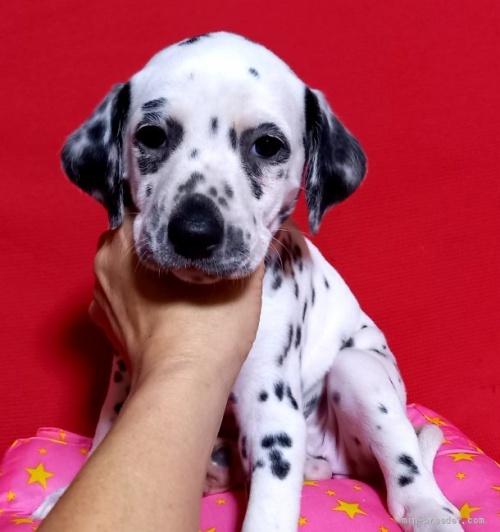 ダルメシアンの子犬(ID:1262711007)の1枚目の写真/更新日:2020-09-14