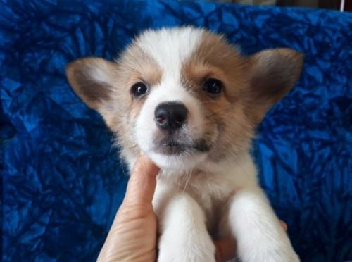 ウェルシュ・コーギー・ペンブロークの子犬(ID:1262711023)の1枚目の写真/更新日:2020-03-02
