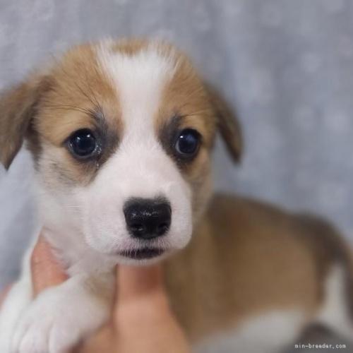 ウェルシュ・コーギー・ペンブロークの子犬(ID:1262711029)の1枚目の写真/更新日:2020-04-08