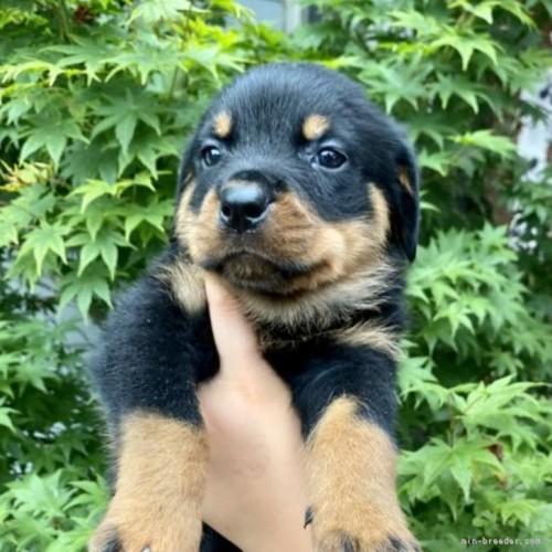 ロットワイラーの子犬(ID:1262911002)の1枚目の写真/更新日:2019-06-04