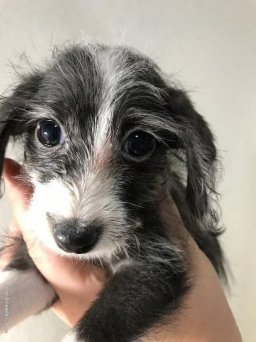 ミックスの子犬(ID:1262911006)の1枚目の写真/更新日:2019-11-11