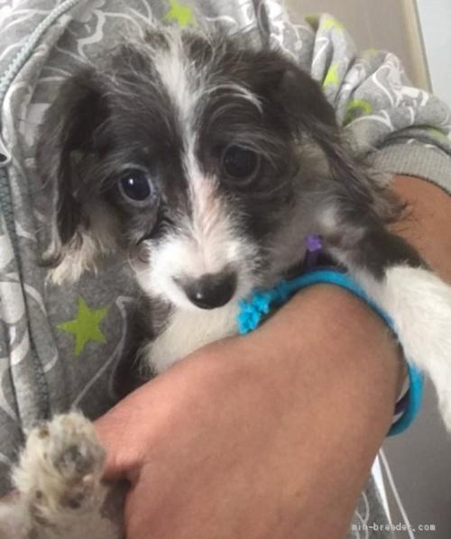 ミックスの子犬(ID:1262911006)の2枚目の写真/更新日:2019-11-11