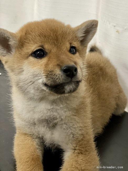柴犬の子犬(ID:1262911008)の1枚目の写真/更新日:2020-10-26