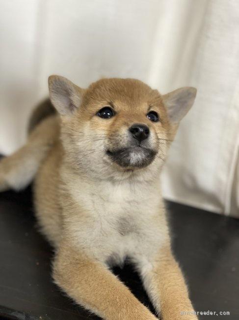 柴犬の子犬(ID:1262911008)の2枚目の写真/更新日:2020-10-26