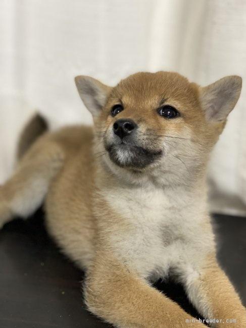柴犬の子犬(ID:1262911008)の3枚目の写真/更新日:2021-09-13