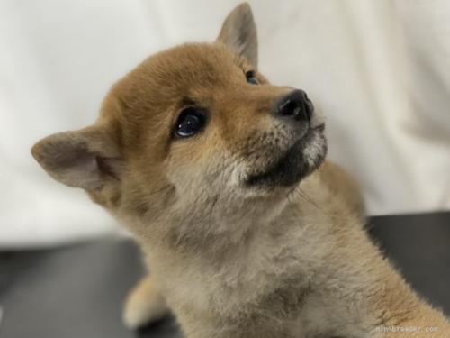 柴犬の子犬(ID:1262911008)の4枚目の写真/更新日:2021-09-13