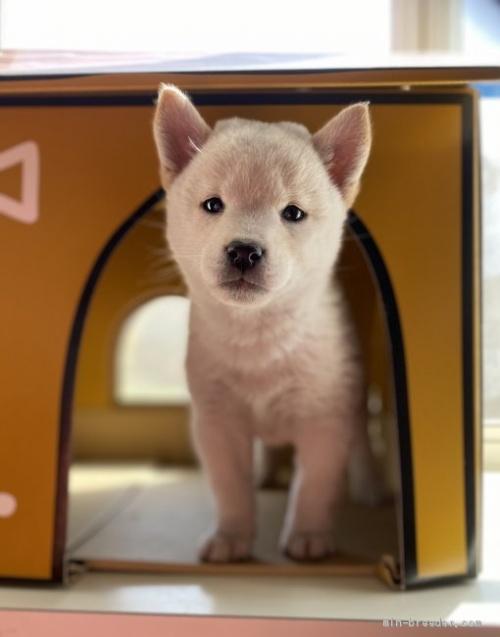 柴犬の子犬(ID:1262911010)の1枚目の写真/更新日:2020-10-04
