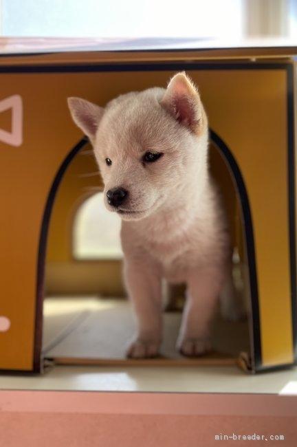 柴犬の子犬(ID:1262911010)の3枚目の写真/更新日:2020-10-04