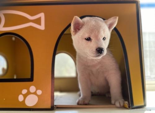 柴犬の子犬(ID:1262911010)の4枚目の写真/更新日:2020-10-04