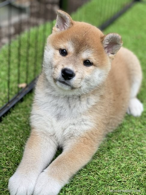 柴犬の子犬(ID:1262911015)の1枚目の写真/更新日:2020-10-04