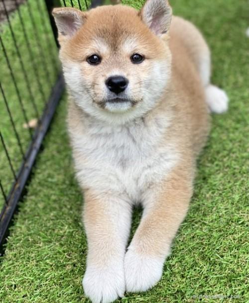 柴犬の子犬(ID:1262911015)の2枚目の写真/更新日:2020-10-04