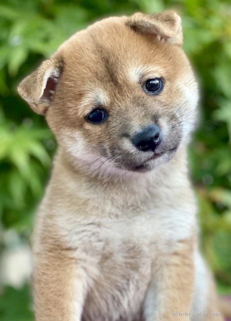 柴犬の子犬(ID:1262911016)の1枚目の写真/更新日:2020-10-04