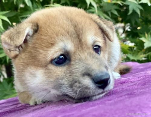 柴犬の子犬(ID:1262911016)の2枚目の写真/更新日:2020-10-04
