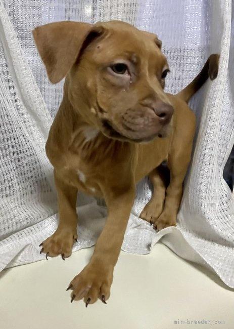 アメリカンピットブルテリアの子犬(ID:1262911020)の1枚目の写真/更新日:2021-01-19