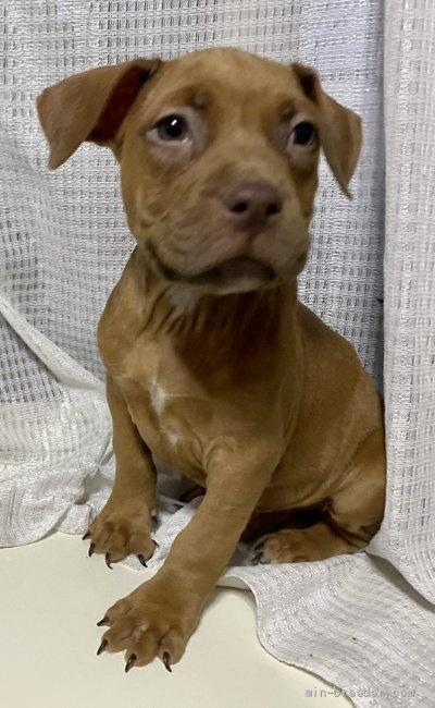 アメリカンピットブルテリアの子犬(ID:1262911020)の2枚目の写真/更新日:2021-01-19