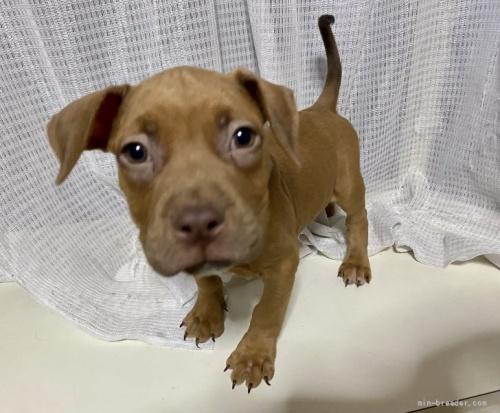 アメリカンピットブルテリアの子犬(ID:1262911020)の4枚目の写真/更新日:2021-01-19