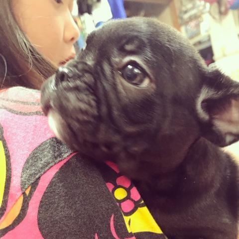 フレンチブルドッグの子犬(ID:1262911023)の1枚目の写真/更新日:2018-08-14