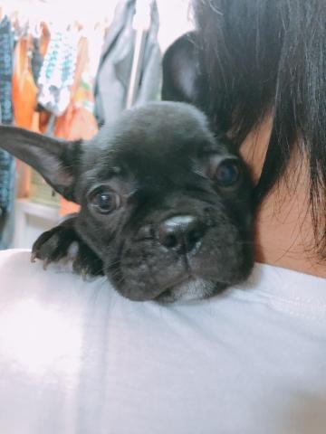 フレンチブルドッグの子犬(ID:1262911023)の3枚目の写真/更新日:2018-08-14