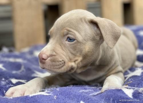 アメリカンピットブルテリアの子犬(ID:1262911026)の2枚目の写真/更新日:2019-07-15