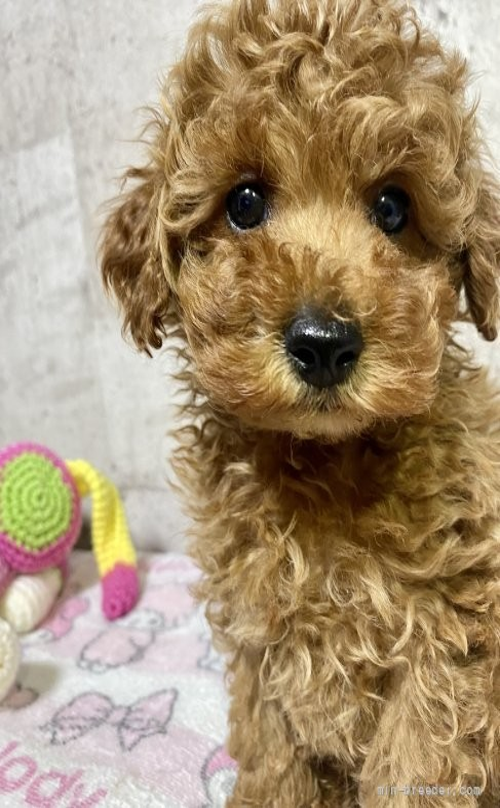 トイプードルの子犬(ID:1262911027)の2枚目の写真/更新日:2019-07-15