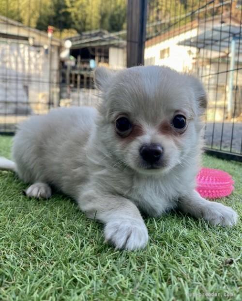 チワワ(ロング)の子犬(ID:1262911029)の1枚目の写真/更新日:2019-07-17
