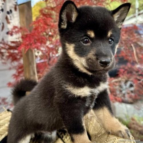 柴犬の子犬(ID:1262911031)の1枚目の写真/更新日:2019-08-09