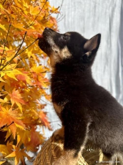 柴犬の子犬(ID:1262911031)の2枚目の写真/更新日:2019-08-09