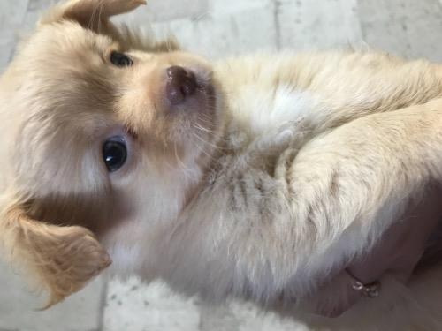 チワワ(ロング)の子犬(ID:1262911034)の1枚目の写真/更新日:2019-08-28