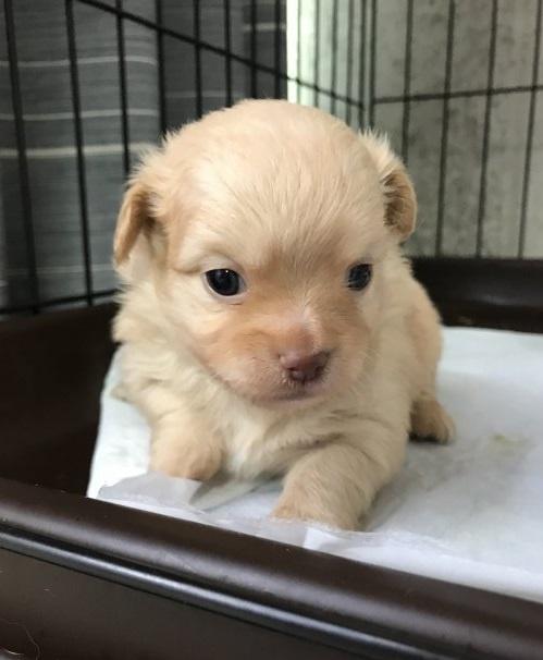 チワワ(ロング)の子犬(ID:1262911034)の3枚目の写真/更新日:2019-08-28