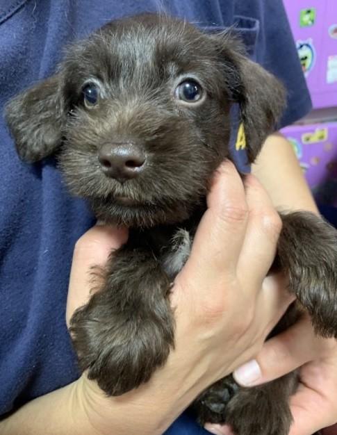 ミニチュアシュナウザーの子犬(ID:1262911038)の2枚目の写真/更新日:2019-09-02