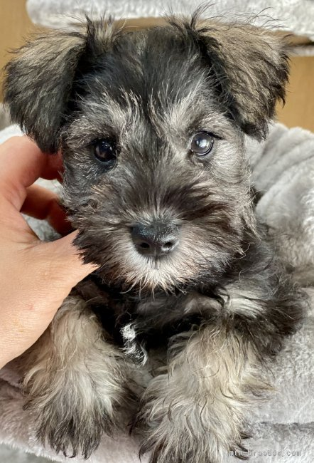 ミニチュアシュナウザーの子犬(ID:1262911044)の1枚目の写真/更新日:2019-10-31