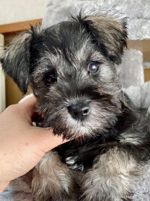 ミニチュアシュナウザーの子犬(ID:1262911044)の2枚目の写真/更新日:2019-10-31