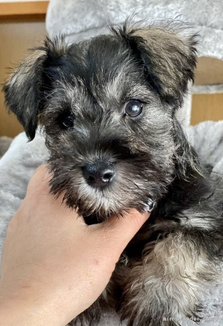 ミニチュアシュナウザーの子犬(ID:1262911044)の3枚目の写真/更新日:2021-02-08
