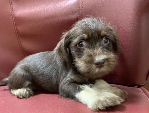 ミニチュアシュナウザーの子犬(ID:1262911045)の1枚目の写真/更新日:2019-09-09