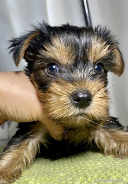 ヨークシャーテリアの子犬(ID:1262911051)の3枚目の写真/更新日:2019-10-11