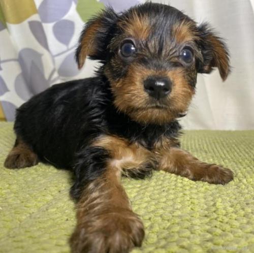 ヨークシャーテリアの子犬(ID:1262911052)の2枚目の写真/更新日:2021-02-19
