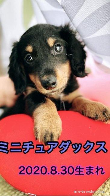 ミニチュアダックスフンド(ロング)の子犬(ID:1262911055)の1枚目の写真/更新日:2019-11-04