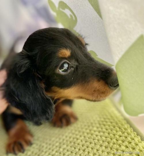 ミニチュアダックスフンド(ロング)の子犬(ID:1262911055)の3枚目の写真/更新日:2019-11-04
