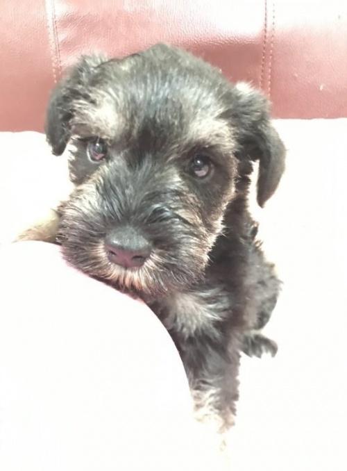 ミニチュアシュナウザーの子犬(ID:1262911057)の1枚目の写真/更新日:2020-01-13