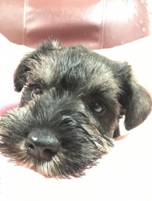 ミニチュアシュナウザーの子犬(ID:1262911057)の2枚目の写真/更新日:2020-01-13