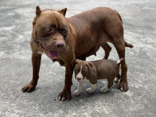 アメリカンピットブルテリアの子犬(ID:1262911060)の5枚目の写真/更新日:2021-07-16