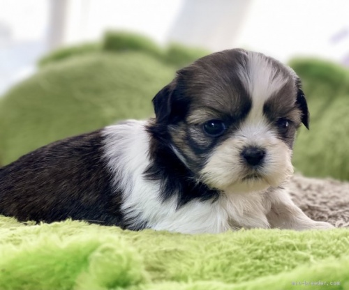シーズーの子犬(ID:1262911064)の2枚目の写真/更新日:2020-08-22