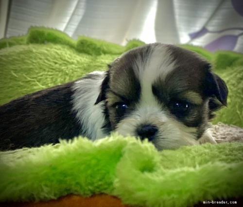 シーズーの子犬(ID:1262911064)の4枚目の写真/更新日:2021-01-06