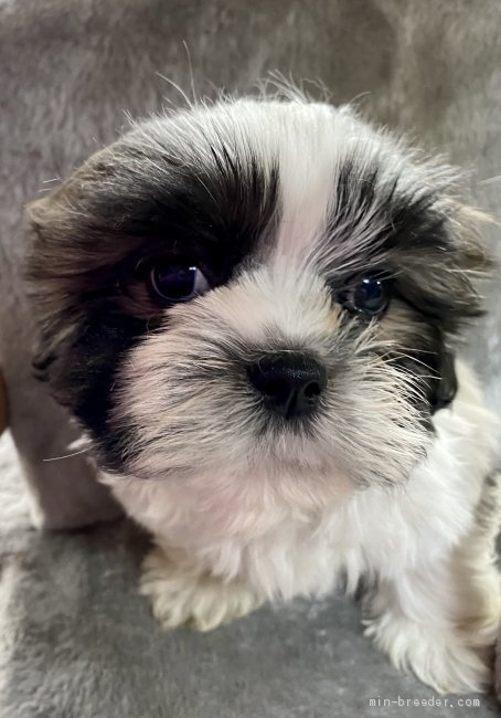 シーズーの子犬(ID:1262911065)の1枚目の写真/更新日:2020-08-22