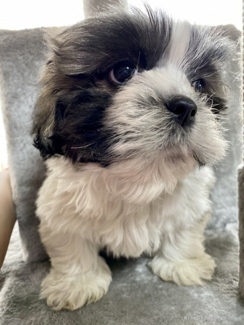 シーズーの子犬(ID:1262911065)の2枚目の写真/更新日:2021-01-06