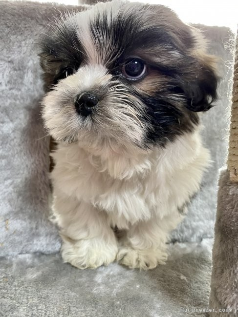 シーズーの子犬(ID:1262911065)の3枚目の写真/更新日:2021-01-06