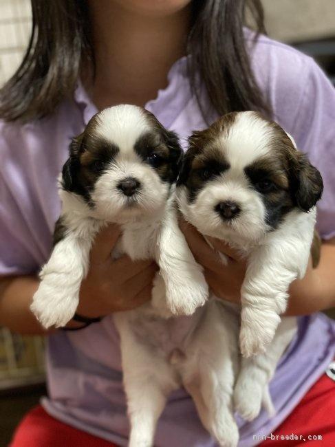 シーズーの子犬(ID:1262911066)の2枚目の写真/更新日:2020-08-22