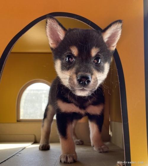 柴犬の子犬(ID:1262911067)の1枚目の写真/更新日:2020-10-04