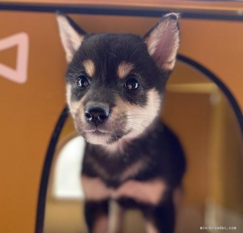 柴犬の子犬(ID:1262911067)の2枚目の写真/更新日:2020-10-04